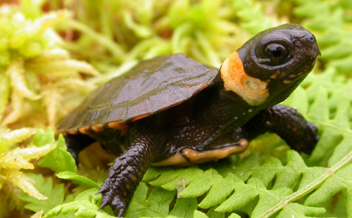 Photo of a bog turtle