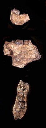 Hominid Fossil Repository | Orrorin tugenensis Fossil Orrorin Tugenensis Was A Partial