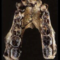 Occlusal view of KNM-KP 29281