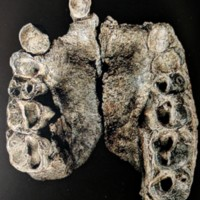Occlusal view of KNM-KP 29283